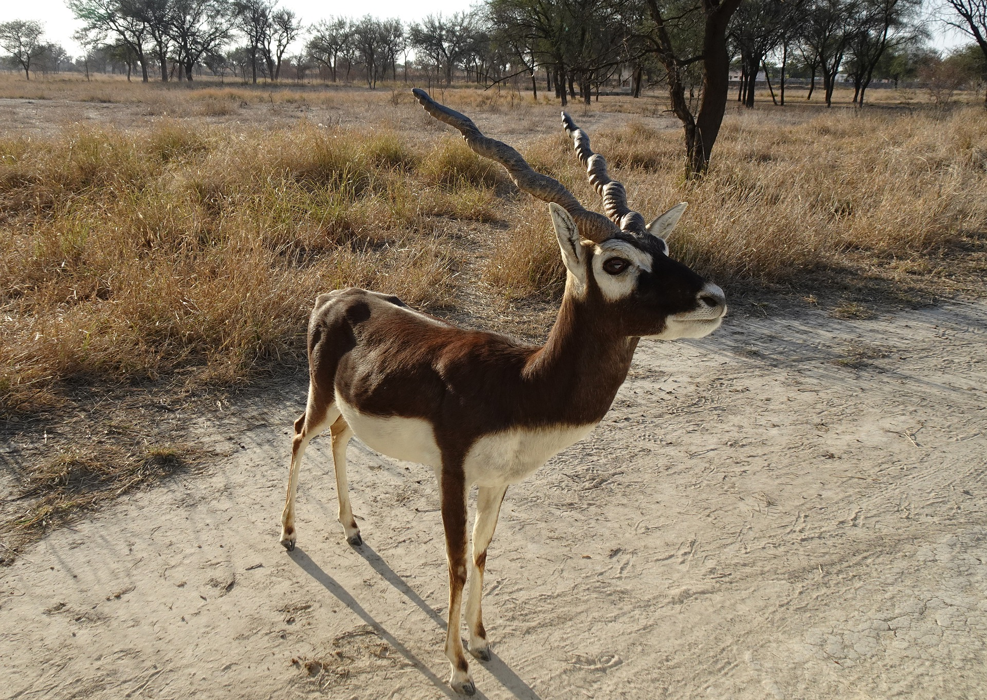Blackbuck Velavadar Gujarat