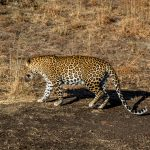 Leopard Tadoba National Park