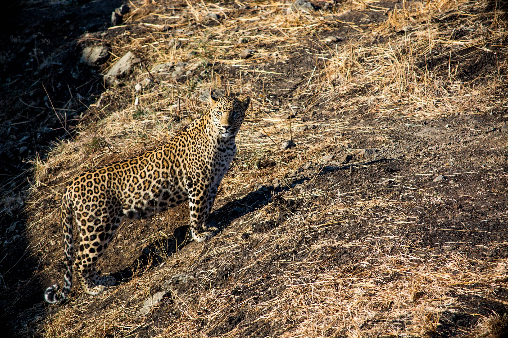 Luipaard India