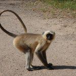 Monkey India