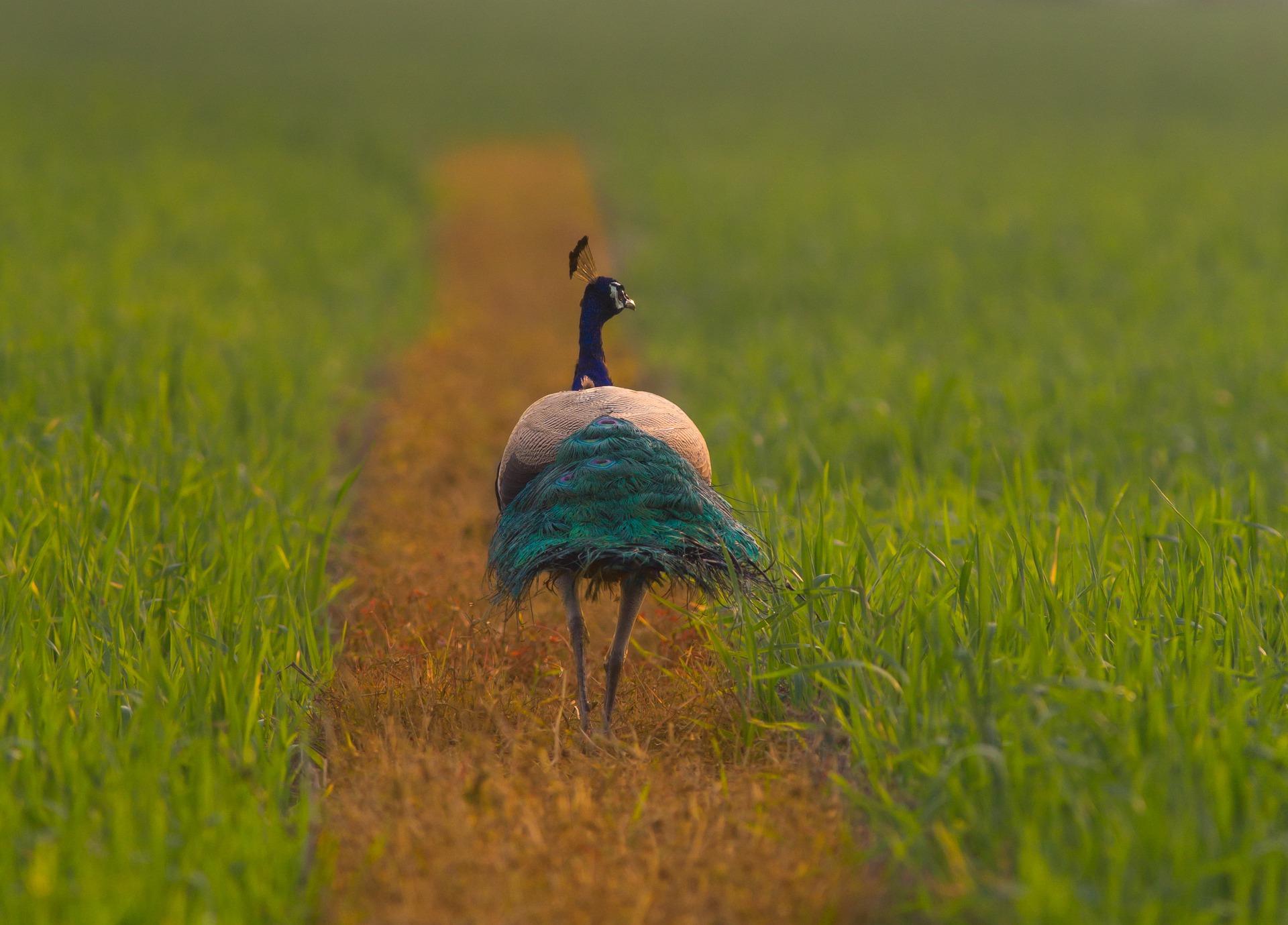 Peacock India