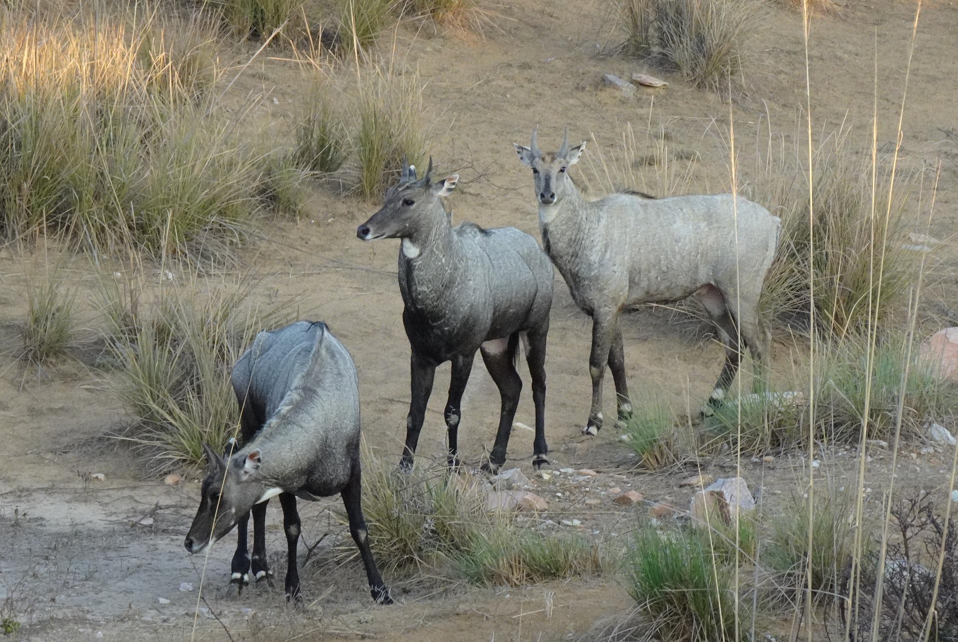 Antelope India