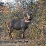 Deer Tadoba National Park