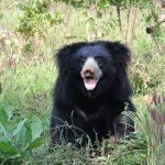 Sloth bear Tadoba National Park