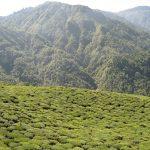 Thee Plantages Darjeeling
