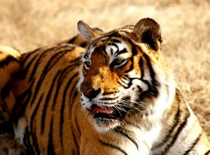 Tiger Tadoba National Park